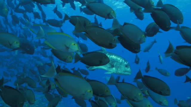 big trevally (jack fish) hunting trough the school of surgeonfish - surgeonfish stock videos and b-roll footage