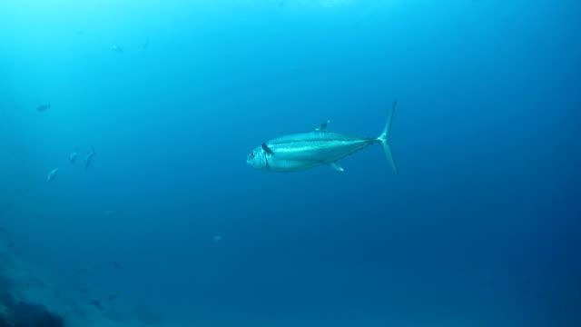 vídeos y material grabado en eventos de stock de grandes atún piscina bajo la superficie del mar - atún animal