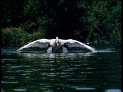 Big white swan takes off over river surface towards camera