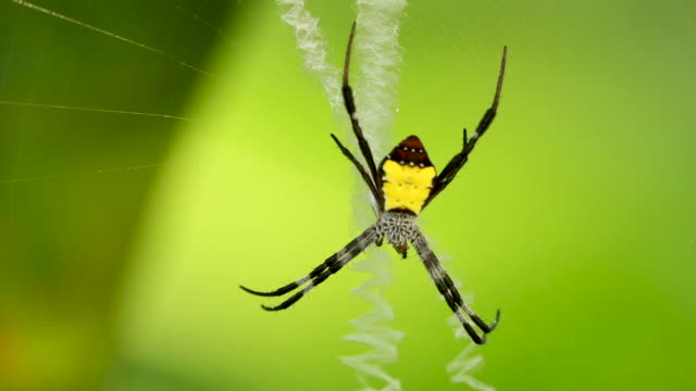 big yellow spider with prey in web, close static - 抜け殻点の映像素材/bロール