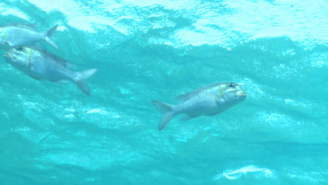 bigeye emperor (monotaxis grandoculis), antarctica - fish stock videos & royalty-free footage