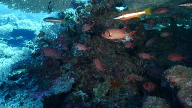 Grootoogtonijn vissen en de gestreepte snapper Two-spot onder koraal