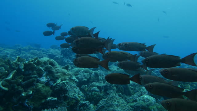bigeye snapper fish schooling in coral reef - snapper fish stock videos & royalty-free footage