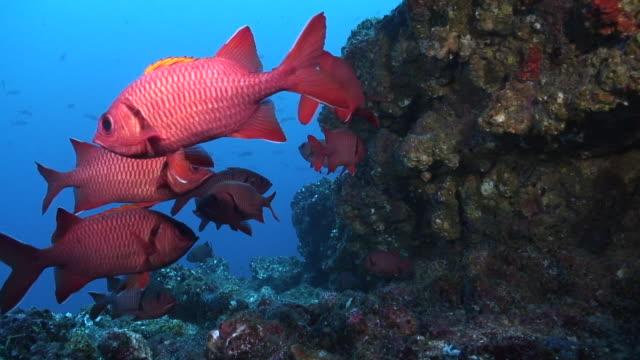 bigeye soldierfish - イットウダイ点の映像素材/bロール