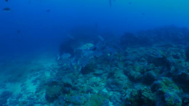 vidéos et rushes de scolarité des caranges obèse au récif sous-marin - îles galapagos