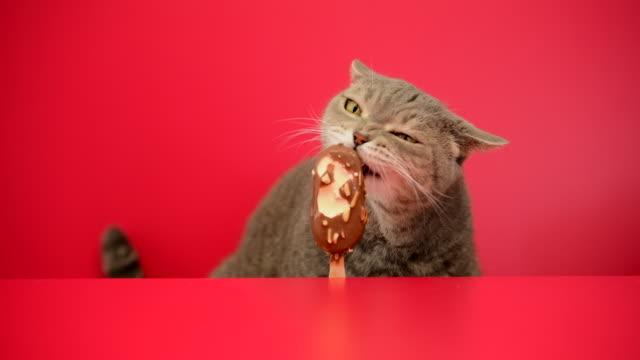 vídeos y material grabado en eventos de stock de gato de ojos grandes travieso obeso lamiendo almendras de chocolate pegar helado sobre fondo rojo. gato pelo de clasificación británica. - piel grasa
