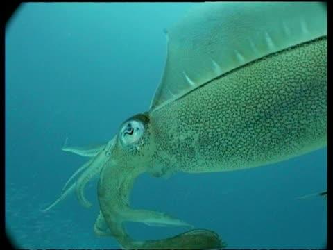 bcu bigfin reef squid swimming amongst vegetation, mabul, borneo, malaysia - mabul island stock videos and b-roll footage