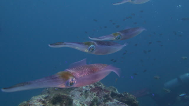 bigfin reef squid swimming close to diver, taiwan - squid stock videos & royalty-free footage