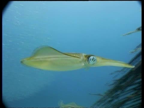 cu bigfin reef squid, swimming in blue water to egg laying site, mabul, borneo, malaysia - mabul island stock videos and b-roll footage
