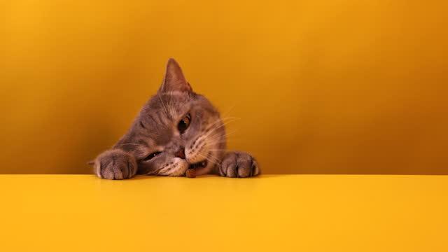 vídeos de stock, filmes e b-roll de gato faminto de cabeça grande comendo a comida de gato na mesa - fofo descrição geral
