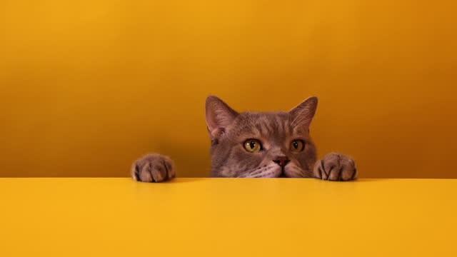big-headed hungry cat eating the cat food on the table - orange colour background stock videos & royalty-free footage
