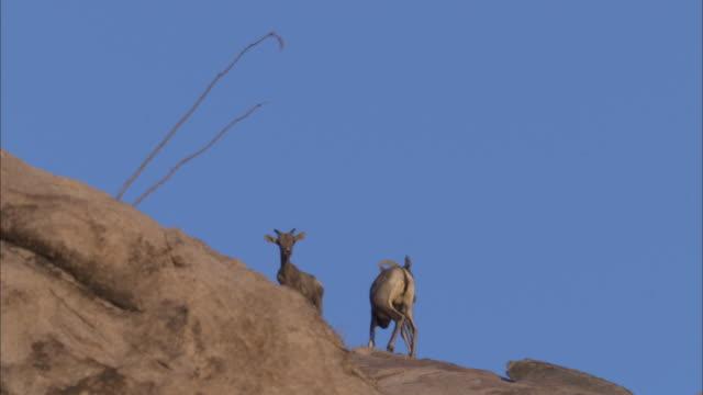 bighorn ewe and lamb against skyline - mutterschaf stock-videos und b-roll-filmmaterial