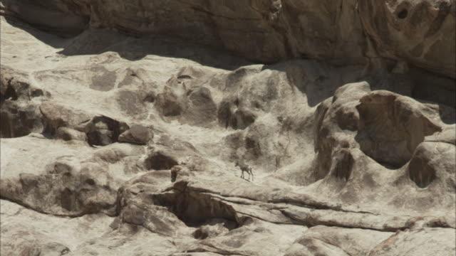 bighorn ewe bounding up rocky terrain - mutterschaf stock-videos und b-roll-filmmaterial