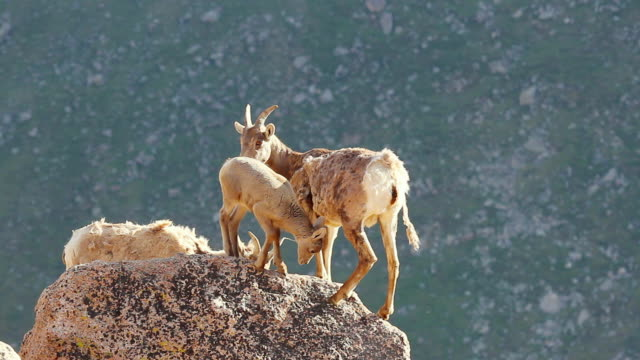 ms bighorn lambs and ewes on mountain top / estes park, colorado, united states - liten djurflock bildbanksvideor och videomaterial från bakom kulisserna