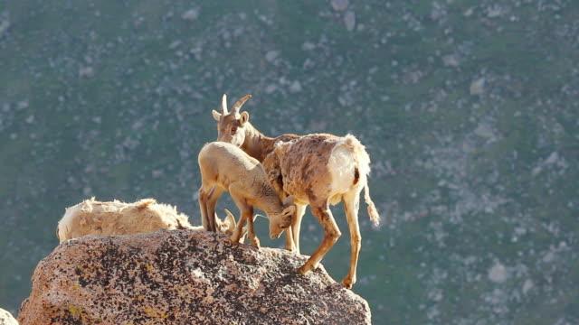 vídeos de stock e filmes b-roll de ms bighorn lambs and ewes on mountain top / estes park, colorado, united states - quatro animais