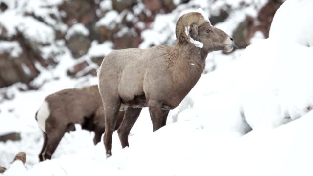 bighorn ram herd feeding winter snow waterton canyon colorado - bighorn sheep stock videos & royalty-free footage