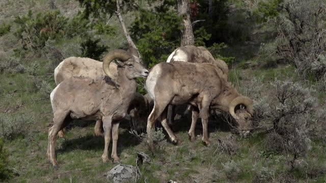 stockvideo's en b-roll-footage met bighorn rams, spring in yellowstone national park, wyoming - vier dieren