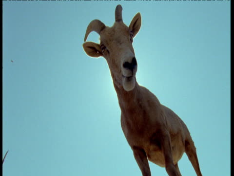 "vidéos et rushes de bighorn sheep chews cud in front of sunburst, usa - ""bbc natural history"""