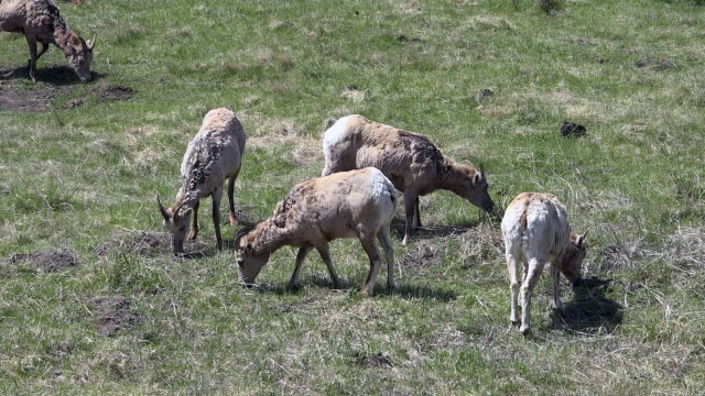 bighorn sheep, females, grazing, shedding winter coat,  yellowstone national park, wyoming - 抜け殻点の映像素材/bロール