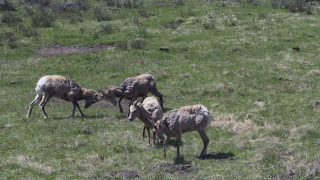bighorn sheep, females showing dominance, yellowstone national park, wyoming - 抜け殻点の映像素材/bロール
