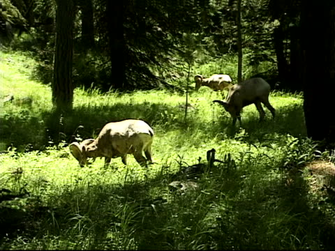 bighorn sheep grazing - artbeats stock videos & royalty-free footage