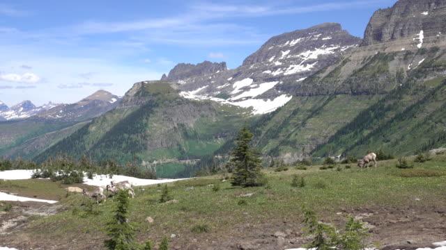 vídeos de stock, filmes e b-roll de bighorn rebanho de ovelhas pastam prado jardim parede parque nacional glacier montana - glacier national park us