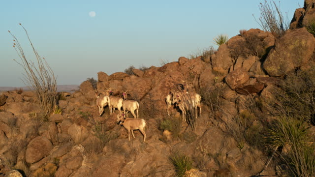 bighorn sheep in big bend national park - mittelgroße tiergruppe stock-videos und b-roll-filmmaterial