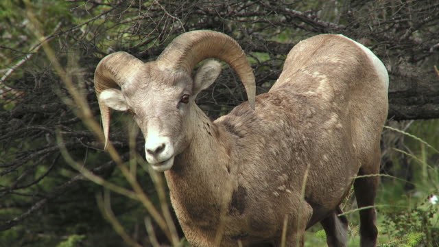 MS Bighorn sheep (Ovis canadensis), Jasper National Park, Alberta, Canada
