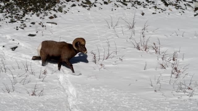 bighorn sheep jumping through snow - bighorn sheep stock videos & royalty-free footage