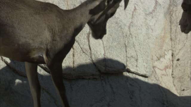 Bighorn sheep lock horns