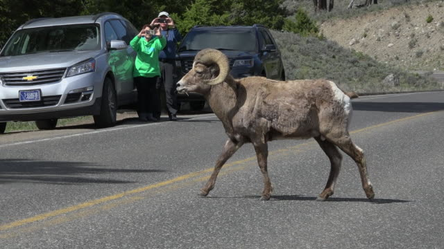 Bighorn sheep, male crosses road in front of tourists, Yellowstone National Park, Wyoming