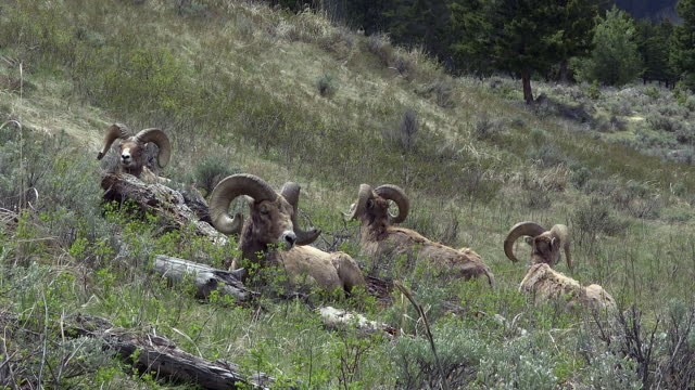 bighorn sheep, males lying down on hillside in shaggy coats, yellowstone national park, wyoming - 抜け殻点の映像素材/bロール