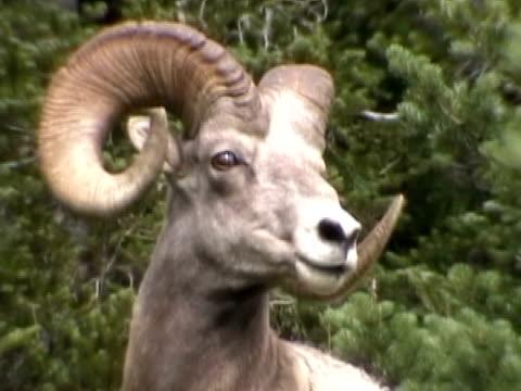 bighorn sheep - ntsc dv - bighorn sheep stock videos & royalty-free footage