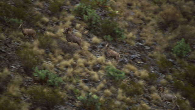 bighorn sheep on rocky hill - 四匹点の映像素材/bロール
