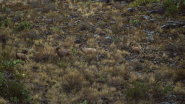 stockvideo's en b-roll-footage met bighorn sheep on rocky hill - vier dieren