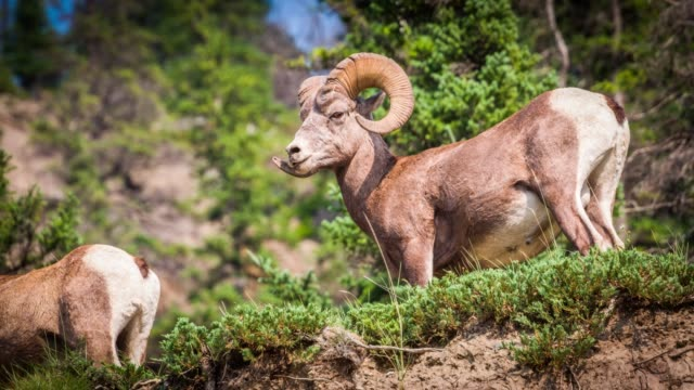 bighorn sheep - ovis canadensis - extreme terrain stock videos & royalty-free footage