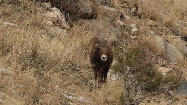 ms bighorn sheep ram (ovis canadensis) chases ewe on hillside during the november rut - mutterschaf stock-videos und b-roll-filmmaterial