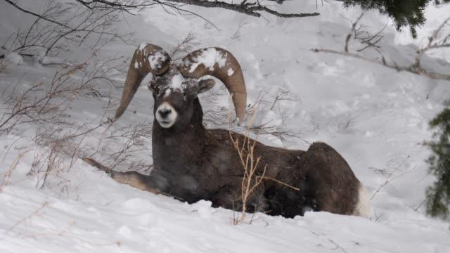 bighorn sheep ram in snow storm - bighorn sheep stock videos & royalty-free footage