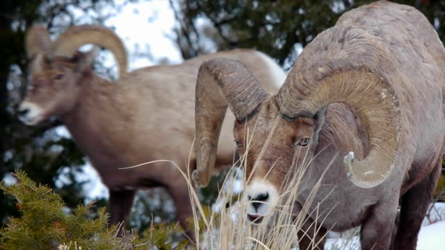 Bighorn Sheep, ram nibbles on shrub, second ram walks behind, Yellowstone National Park in Winter