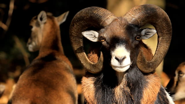 stockvideo's en b-roll-footage met bighorn sheep ram - gehoornd