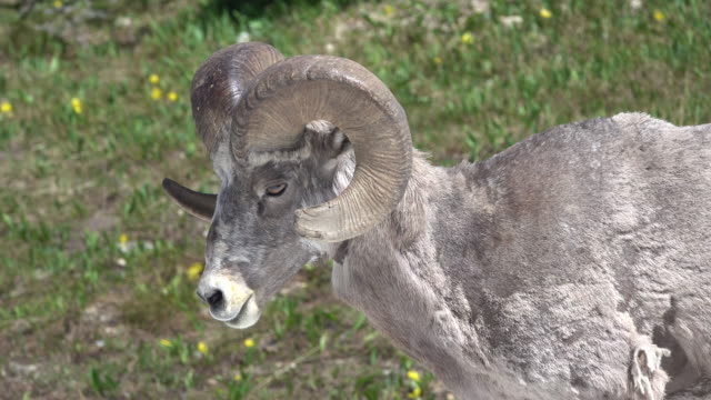 Bighorn sheep ram walks Garden Wall meadow Glacier National Park Montana