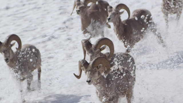 bighorn sheep (ovis canadensis) run over snowy slope, glacier national park, usa - herd stock videos & royalty-free footage