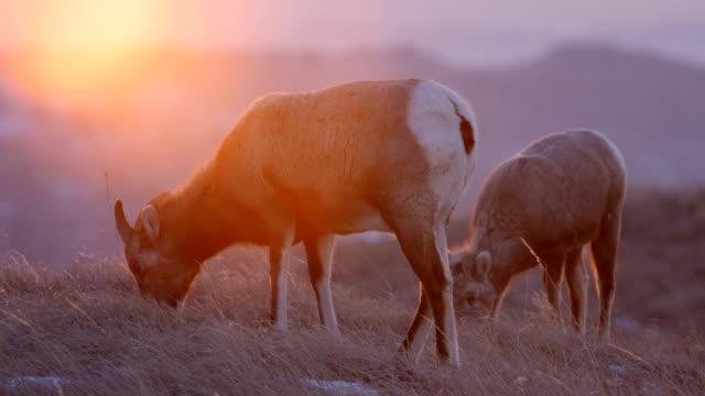 stockvideo's en b-roll-footage met dikhoornschaap - great plains