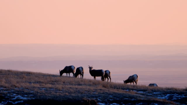 bighorn sheep - wildlife stock videos & royalty-free footage