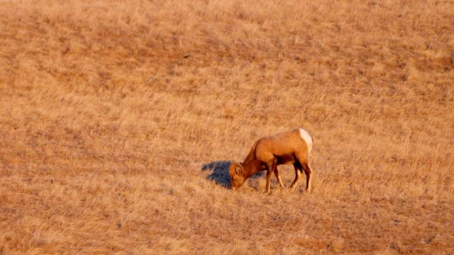 bighorn sheep - badlands nationalpark stock-videos und b-roll-filmmaterial
