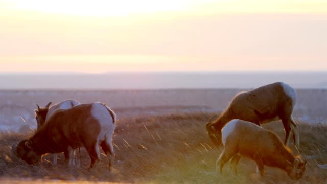 bighorn sheep - sheep stock videos & royalty-free footage