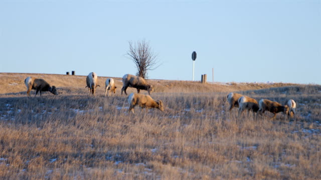bighorn sheep - badlands national park stock videos & royalty-free footage