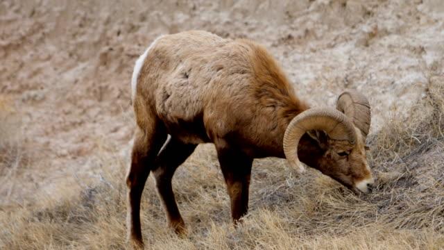 bighorn sheep - bighorn sheep stock videos & royalty-free footage