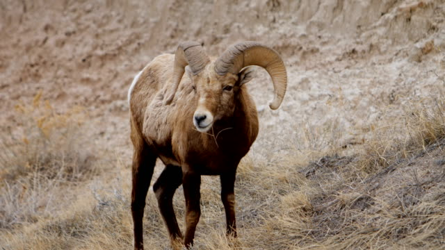 bighorn sheep - badlands national park video stock e b–roll