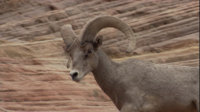 stockvideo's en b-roll-footage met a bighorn sheep walks along a canyon slope and forages on bushes. available in hd. - foerageren